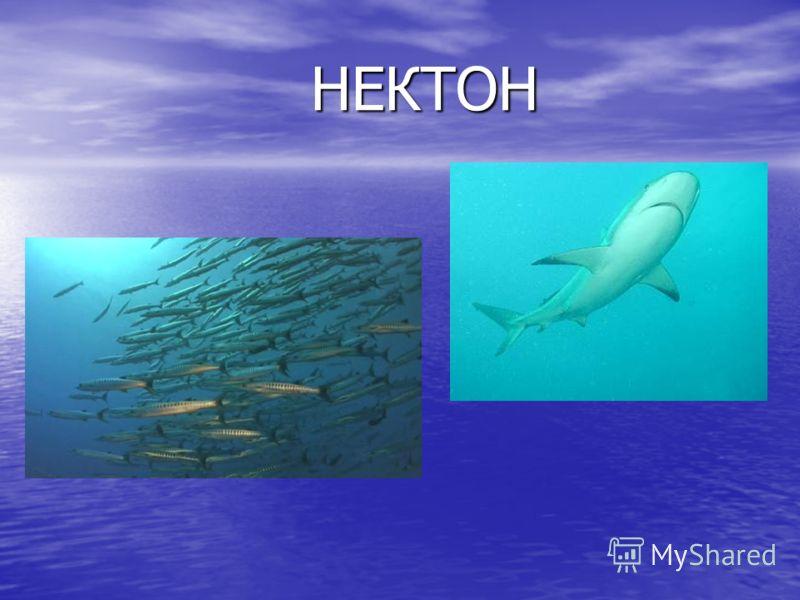 НЕКТОН НЕКТОН