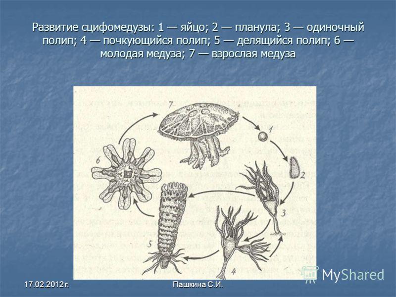 Развитие сцифомедузы: 1 яйцо; 2 планула; 3 одиночный полип; 4 почкующийся полип; 5 делящийся полип; 6 молодая медуза; 7 взрослая медуза Развитие сцифомедузы: 1 яйцо; 2 планула; 3 одиночный полип; 4 почкующийся полип; 5 делящийся полип; 6 молодая меду