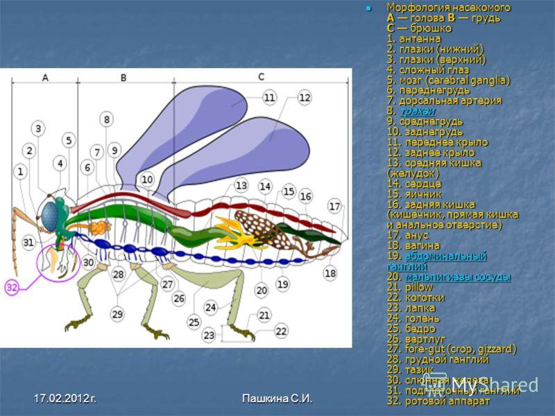Морфология насекомого A голова B грудь C брюшко 1. антенна 2. глазки (нижний) 3. глазки (верхний) 4. сложный глаз 5. мозг (cerebral ganglia) 6. переднегрудь 7. дорсальная артерия 8. трахеи 9. среднегрудь 10. заднегрудь 11. переднее крыло 12. заднее к