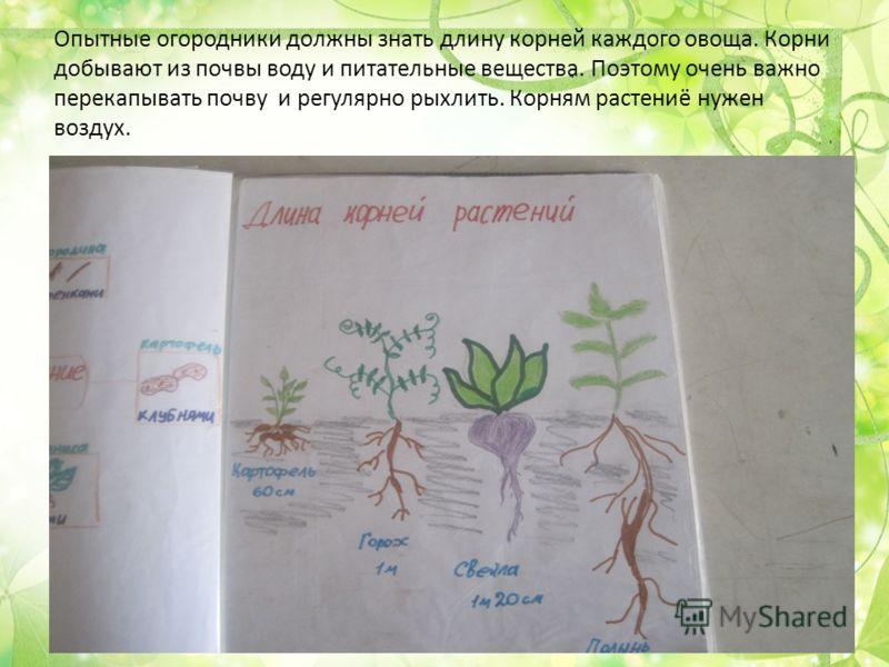 Опытные огородники должны знать длину корней каждого овоща. Корни добывают из почвы воду и питательные вещества. Поэтому очень важно перекапывать почву и регулярно рыхлить. Корням растениё нужен воздух.