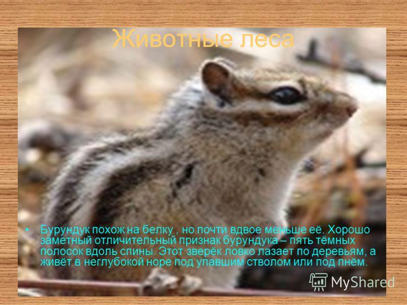 Животные леса Бурундук похож на белку, но почти вдвое меньше её. Хорошо заметный отличительный признак бурундука – пять тёмных полосок вдоль спины. Этот зверёк ловко лазает по деревьям, а живёт в неглубокой норе под упавшим стволом или под пнём.