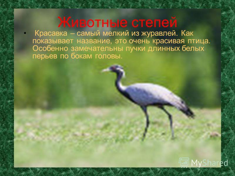 Животные степей Красавка – самый мелкий из журавлей. Как показывает название, это очень красивая птица. Особенно замечательны пучки длинных белых перьев по бокам головы.