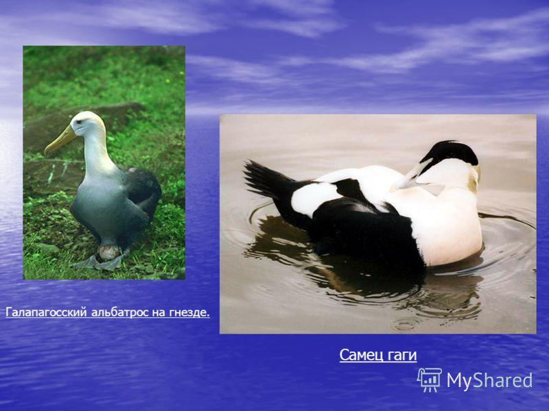 Галапагосский альбатрос на гнезде. Самец гаги