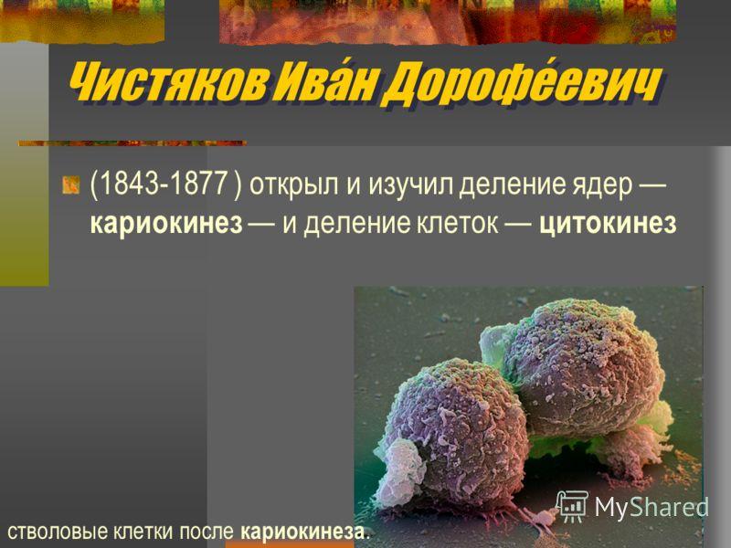 Чистяков Иван Дорофеевич (1843-1877 ) открыл и изучил деление ядер кариокинез и деление клеток цитокинез стволовые клетки после кариокинеза.