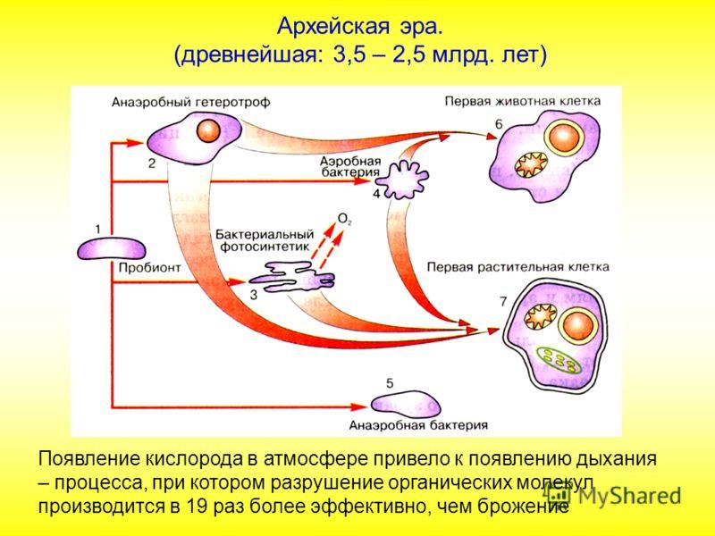 Архейская эра. (древнейшая: 3,5 – 2,5 млрд. лет) Появление кислорода в атмосфере привело к появлению дыхания – процесса, при котором разрушение органических молекул производится в 19 раз более эффективно, чем брожение