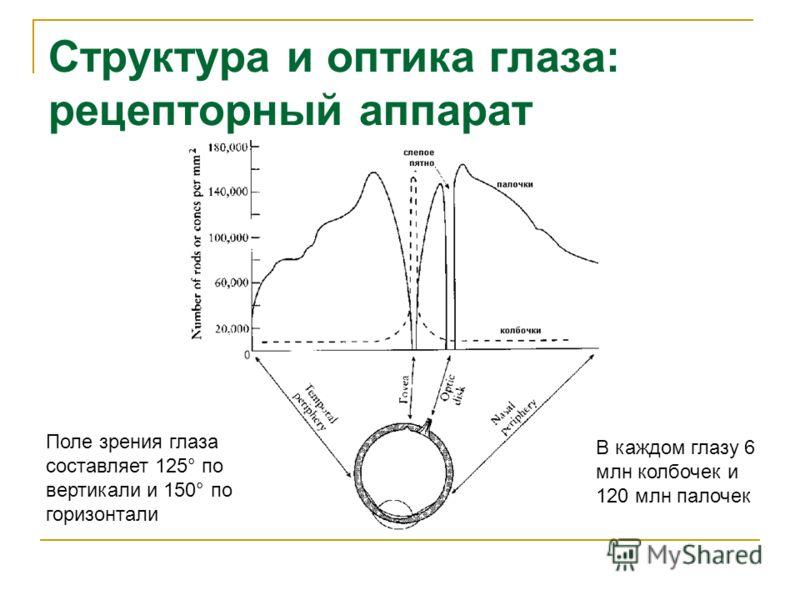 Структура и оптика глаза: рецепторный аппарат Поле зрения глаза составляет 125° по вертикали и 150° по горизонтали В каждом глазу 6 млн колбочек и 120 млн палочек