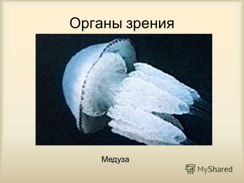 Органы зрения Медуза