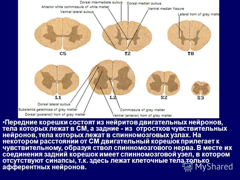 Передние корешки состоят из нейритов двигательных нейронов, тела которых лежат в СМ, а задние - из отростков чувствительных нейронов, тела которых лежат в спинномозговых узлах. На некотором расстоянии от СМ двигательный корешок прилегает к чувствител