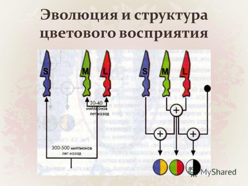 Эволюция и структура цветового восприятия