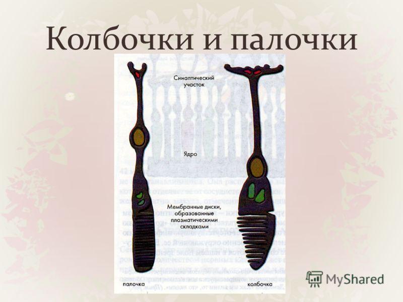 Колбочки и палочки