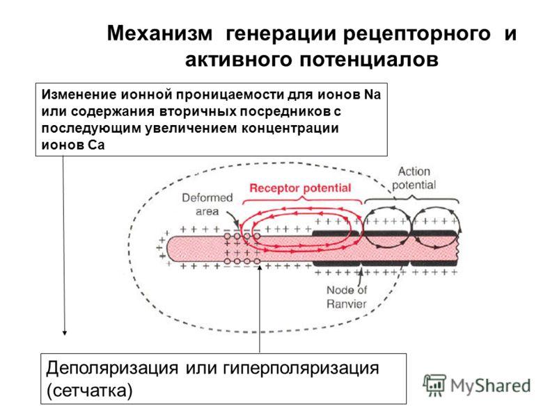 Адекватный стимул Сенсорный рецептор Первичный афферентный нейрон синапс Нейрон 2-го порядка Градуальный рецепторный потенциал порог Генерация активного потенциала (ПД) Частота кодирования ПД понижается в первичном афферентном нейроне synaptic integr