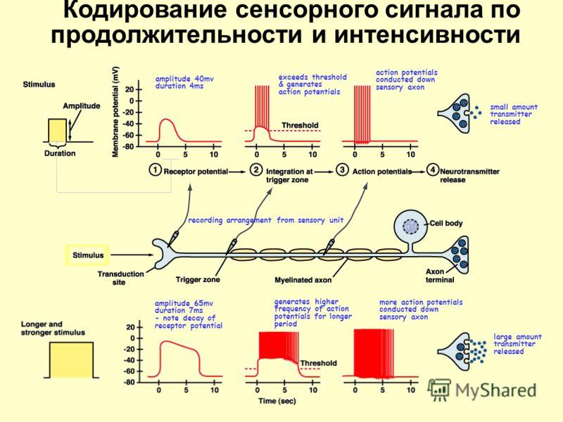 Реакция первичных и вторичных афферентов (типа 1a и II)
