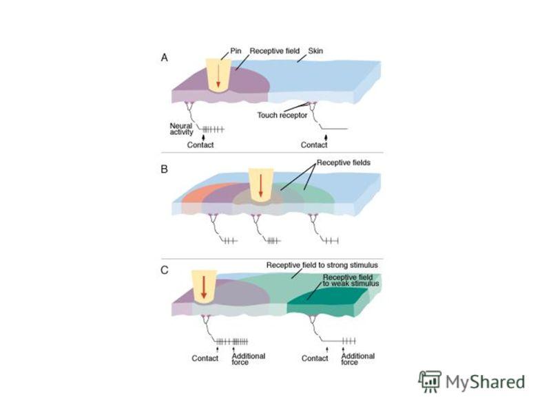Периферическая организация восприятия сенсорного сигнала называется сенсорной единицей.Единичный афферентный нейрон со всеми его рецепторными окончаниями называется сенсорной единицей. называется рецепторным полем данного нейрона.Область тела, на кот