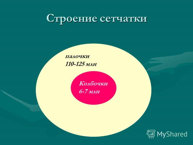 Строение сетчатки Колбочки 6-7 млн палочки 110-125 млн
