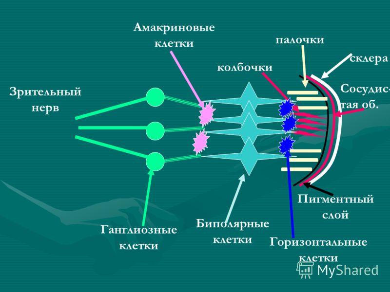 Сосудис- тая об. склера Пигментный слой палочки колбочки Биполярные клетки Ганглиозные клетки Зрительный нерв Горизонтальные клетки Амакриновые клетки