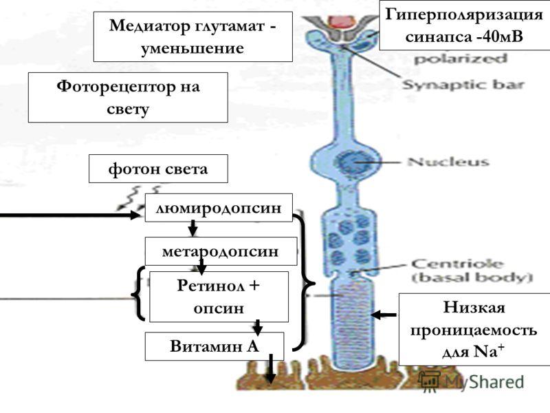 Фоторецептор на свету фотон света люмиродопсин метародопсин Ретинол + опсин Витамин А Низкая проницаемость для Na + Гиперполяризация синапса -40мВ Медиатор глутамат - уменьшение