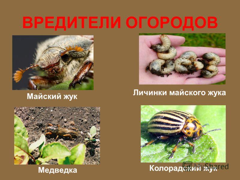 ВРЕДИТЕЛИ ОГОРОДОВ Крот Гусеница капустница Слизень