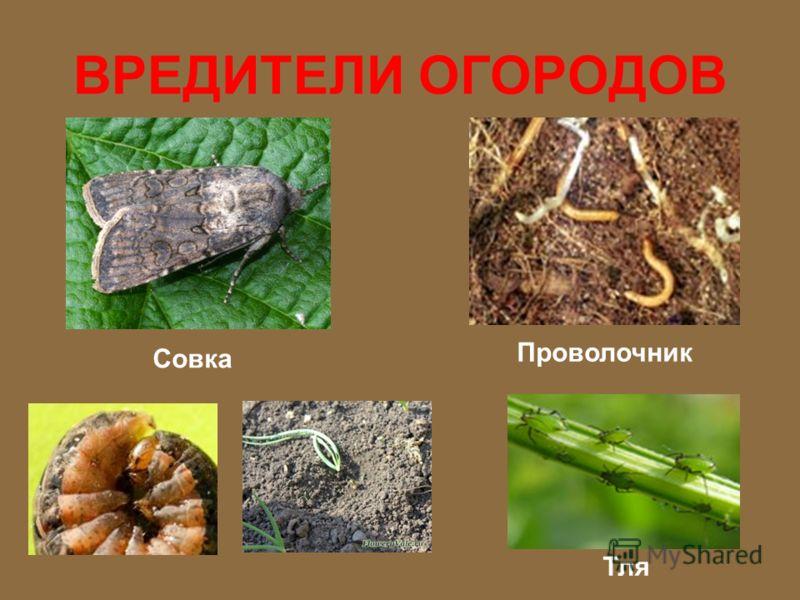 ВРЕДИТЕЛИ ОГОРОДОВ Колорадский жук Майский жук Личинки майского жука Медведка