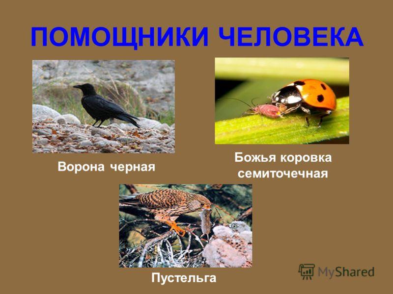 ПОМОЩНИКИ ЧЕЛОВЕКА ЛягушкаТрясогузка Жаба серая Сова ушастая