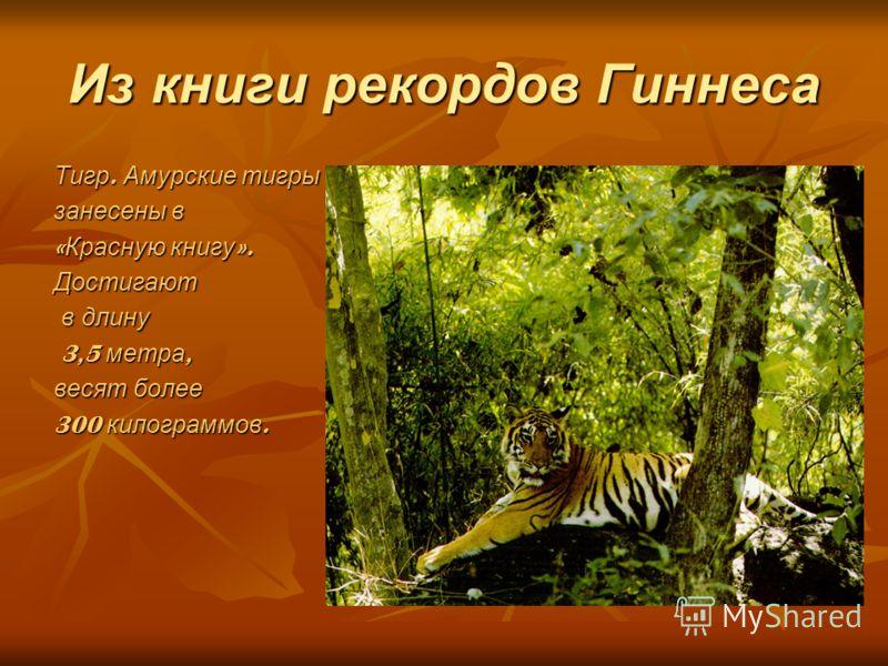 Из книги рекордов Гиннеса Тигр. Амурские тигры занесены в « Красную книгу ». Достигают в длину в длину 3,5 метра, 3,5 метра, весят более 300 килограммов.
