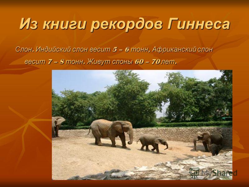 Из книги рекордов Гиннеса Слон. Индийский слон весит 5 – 6 тонн, Африканский слон весит 7 – 8 тонн. Живут слоны 60 – 70 лет.