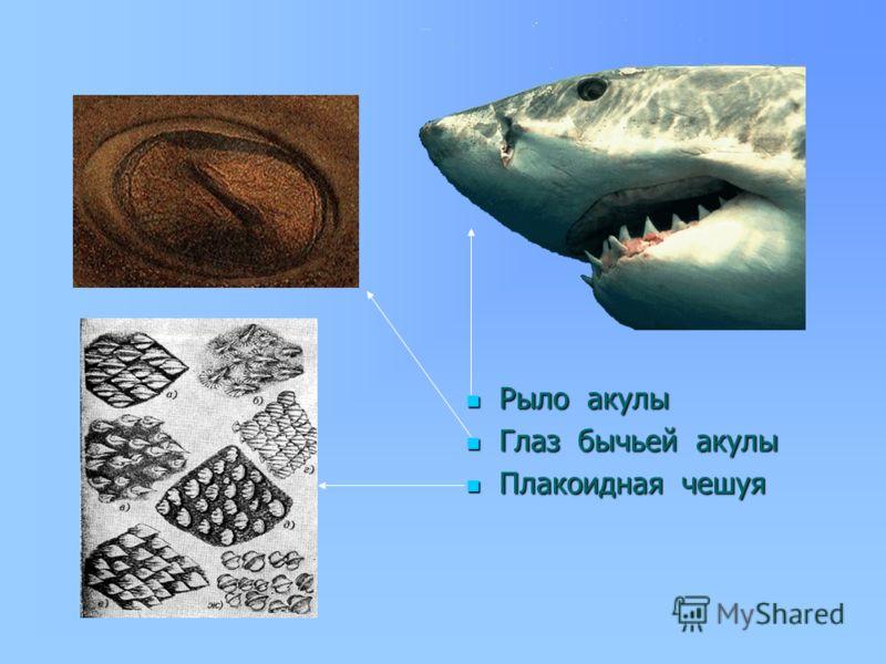 Рыло акулы Рыло акулы Глаз бычьей акулы Глаз бычьей акулы Плакоидная чешуя Плакоидная чешуя