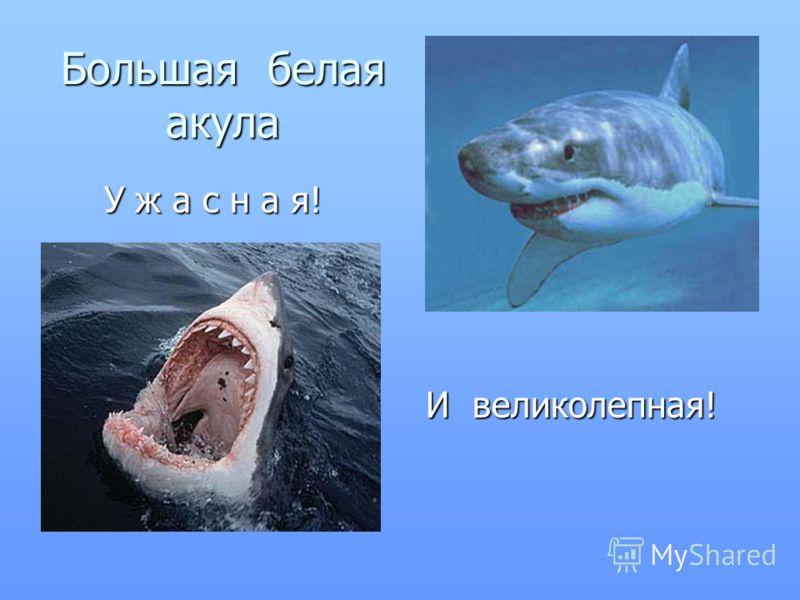 Большая белая акула У ж а с н а я! У ж а с н а я! И великолепная! И великолепная!