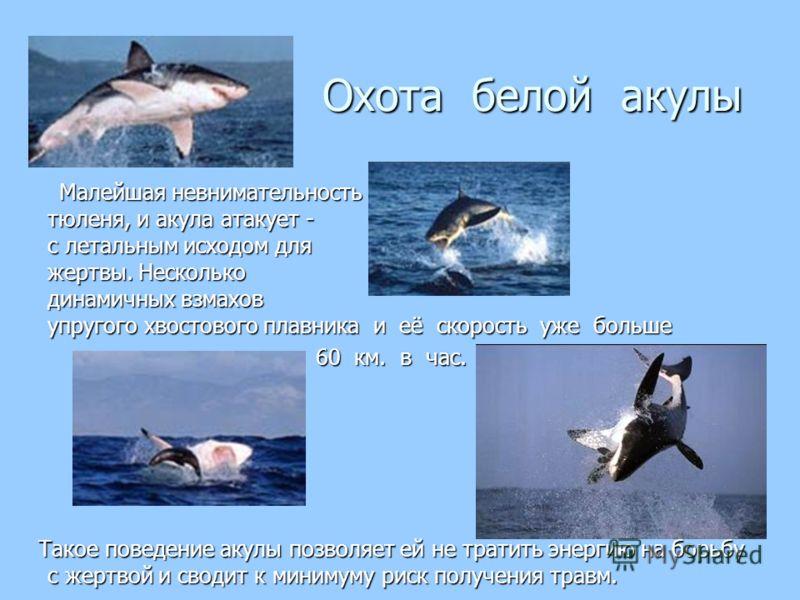Охота белой акулы Охота белой акулы Малейшая невнимательность тюленя, и акула атакует - с летальным исходом для жертвы. Несколько динамичных взмахов упругого хвостового плавника и её скорость уже больше Малейшая невнимательность тюленя, и акула атаку
