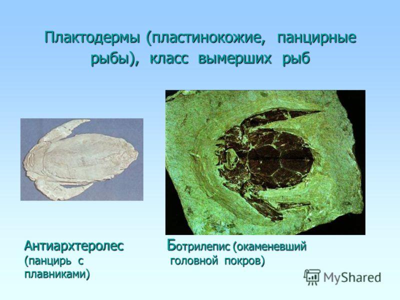 Плактодермы (пластинокожие, панцирные рыбы), класс вымерших рыб Антиархтеролес Б отрилепис (окаменевший (панцирь с головной покров) плавниками)