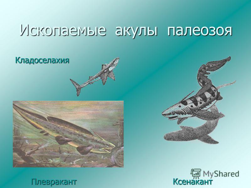 Ископаемые акулы палеозоя Кладоселахия Плевракант Ксенакант Плевракант Ксенакант