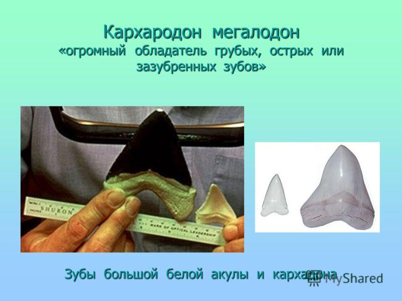 Кархародон мегалодон «огромный обладатель грубых, острых или зазубренных зубов» Зубы большой белой акулы и кархадона