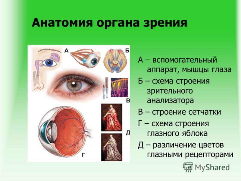 Анатомия органа зрения А – вспомогательный аппарат, мышцы глаза Б – схема строения зрительного анализатора В – строение сетчатки Г – схема строения глазного яблока Д – различение цветов глазными рецепторами
