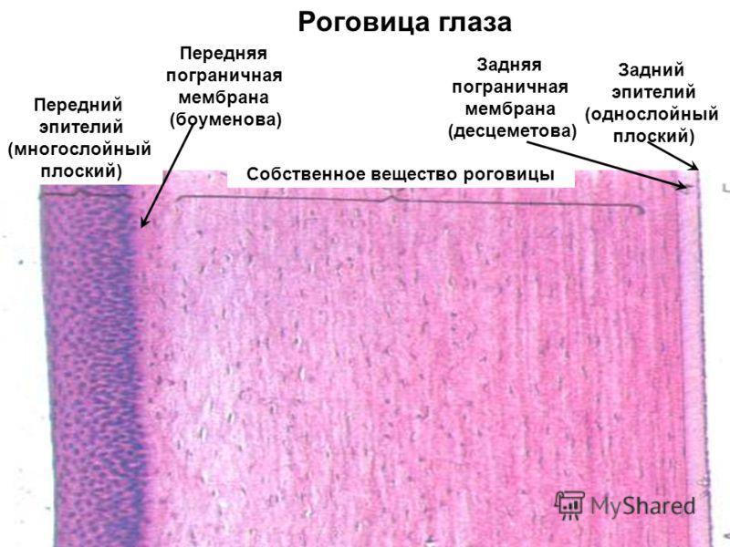 Роговица глаза Передняя пограничная мембрана (боуменова) Задняя пограничная мембрана (десцеметова) Задний эпителий (однослойный плоский) Собственное вещество роговицы Передний эпителий (многослойный плоский)