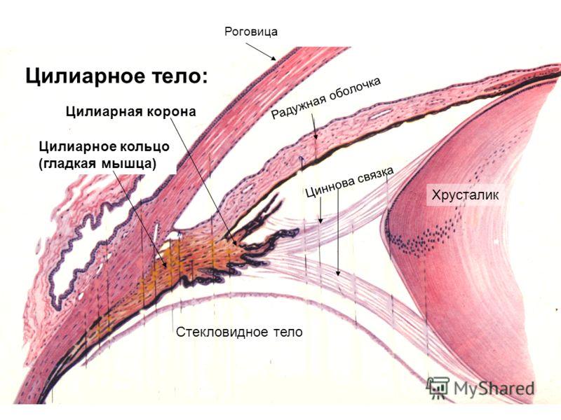 Радужная оболочка Роговица Циннова связка Стекловидное тело Цилиарное кольцо (гладкая мышца) Цилиарная корона Хрусталик Цилиарное тело: