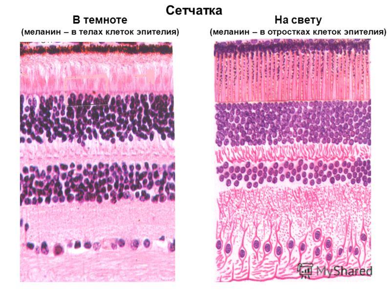 Сетчатка В темноте (меланин – в телах клеток эпителия) На свету (меланин – в отростках клеток эпителия)