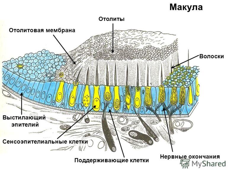 Макула Поддерживающие клетки Сенсоэпителиальные клетки Волоски Нервные окончания Выстилающий эпителий Отолитовая мембрана Отолиты