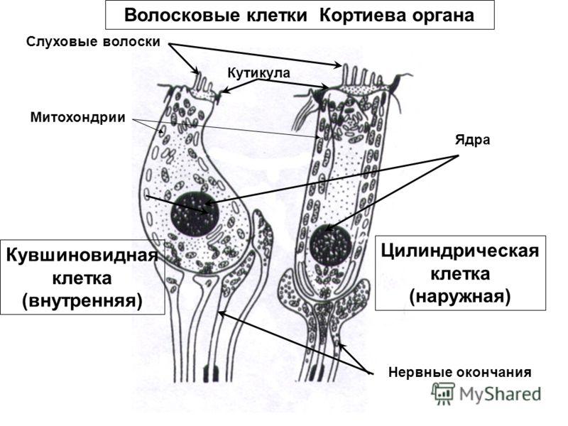 Клетки Фаланговые