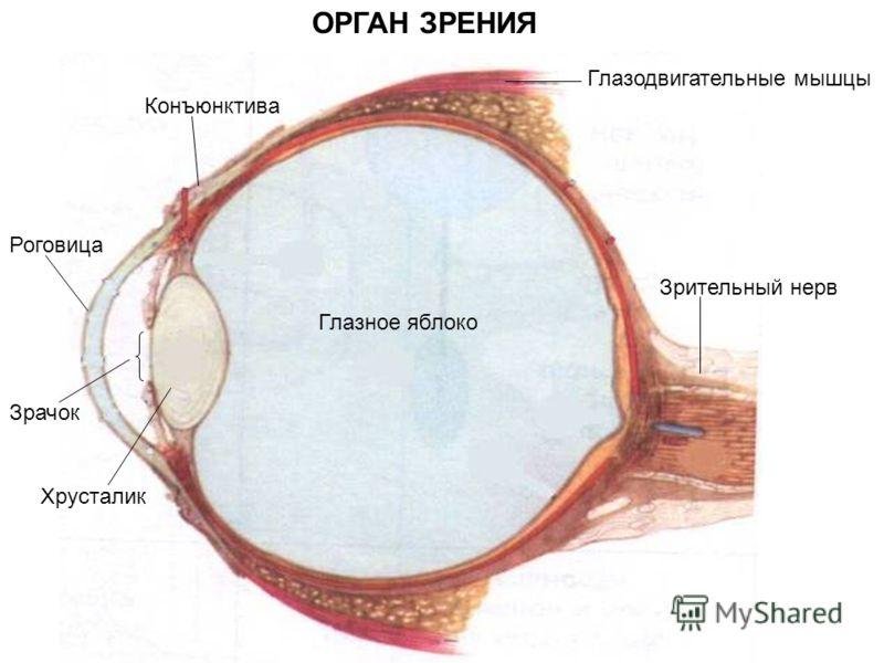 Конъюнктива ОРГАН ЗРЕНИЯ