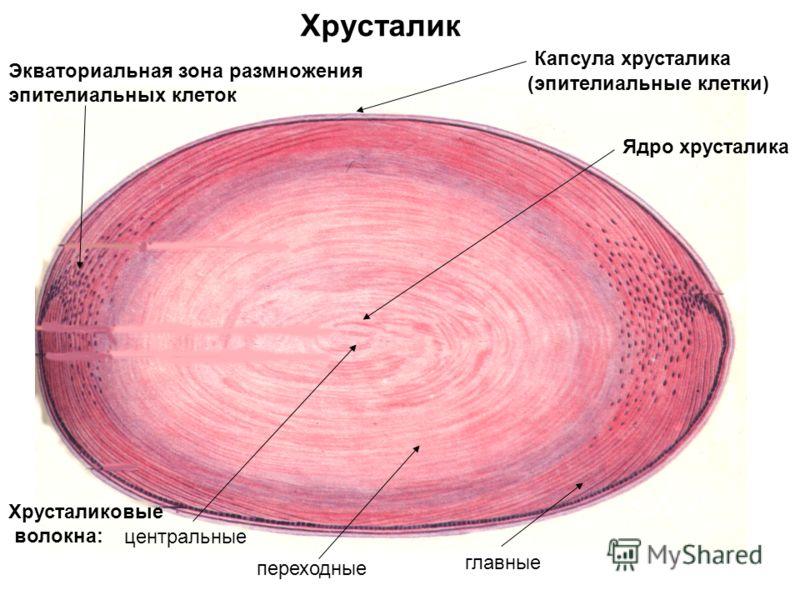Хрусталик Капсула хрусталика (эпителиальные клетки) Ядро хрусталика Экваториальная зона размножения эпителиальных клеток Хрусталиковые волокна: центральные переходные главные