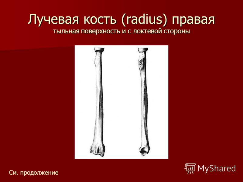 Лучевая кость (radius) правая тыльная поверхность и с локтевой стороны См. продолжение