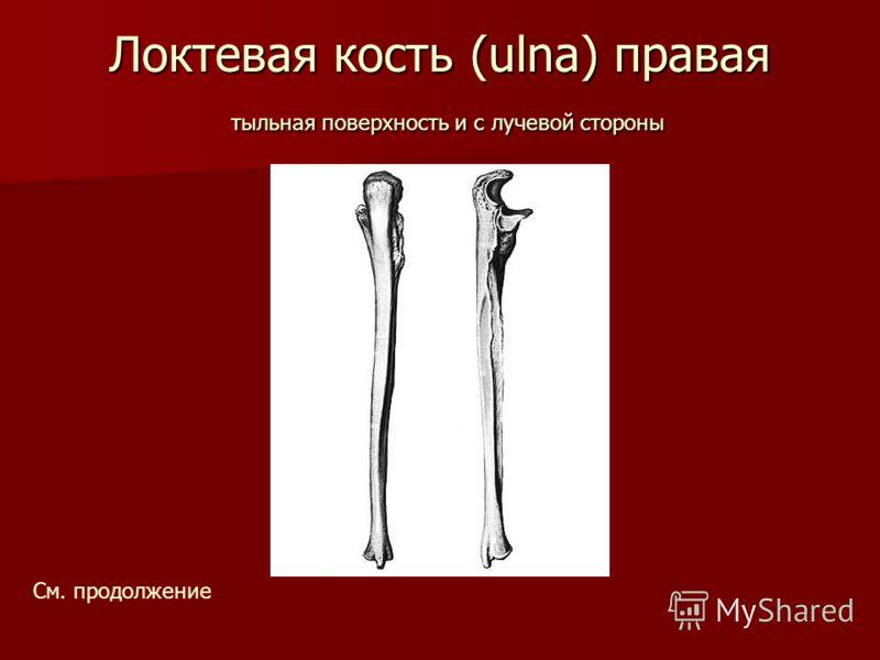 Локтевая кость (ulna) правая тыльная поверхность и с лучевой стороны См. продолжение