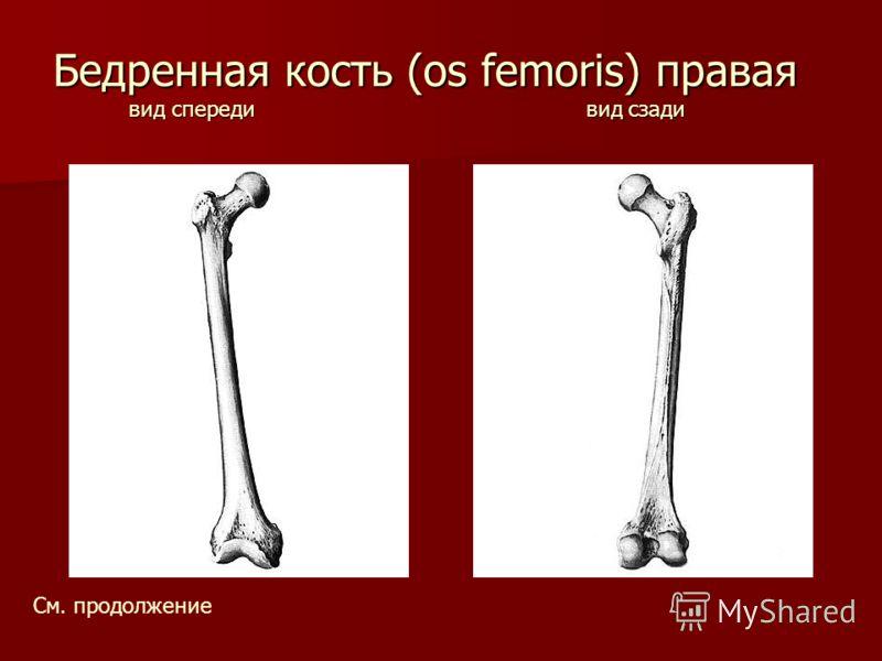 Бедренная кость (os femoris) правая вид спереди вид сзади См. продолжение