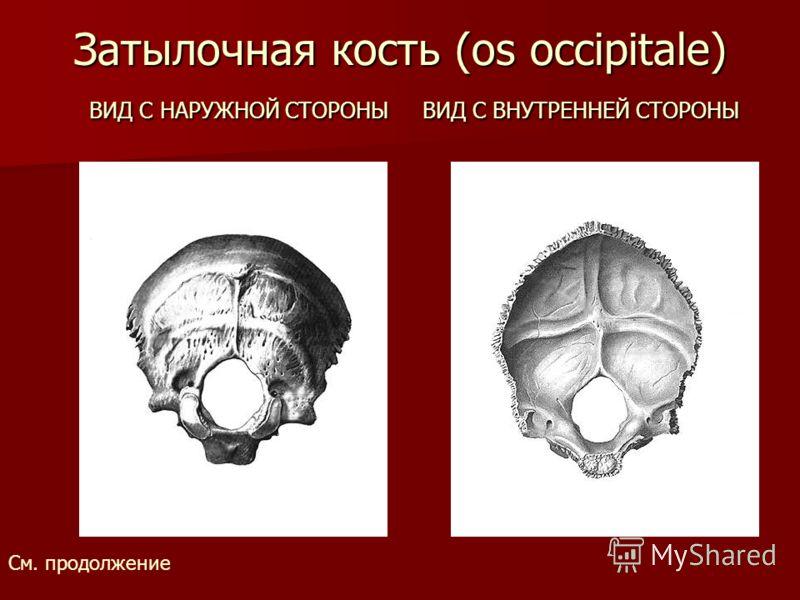 Затылочная кость (os occipitale) ВИД С НАРУЖНОЙ СТОРОНЫ ВИД С ВНУТРЕННЕЙ СТОРОНЫ См. продолжение