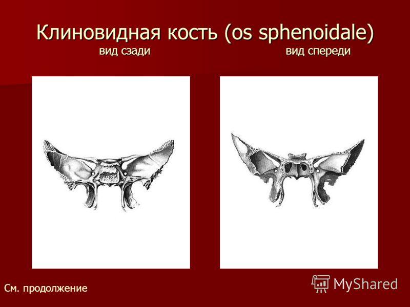 Клиновидная кость (os sphenoidale) вид сзади вид спереди См. продолжение