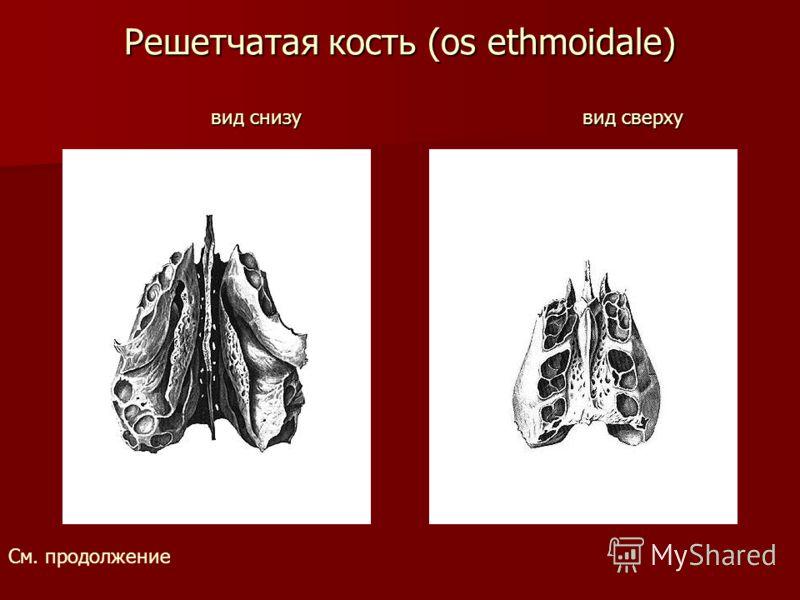 Решетчатая кость (os ethmoidale) вид снизу вид сверху См. продолжение