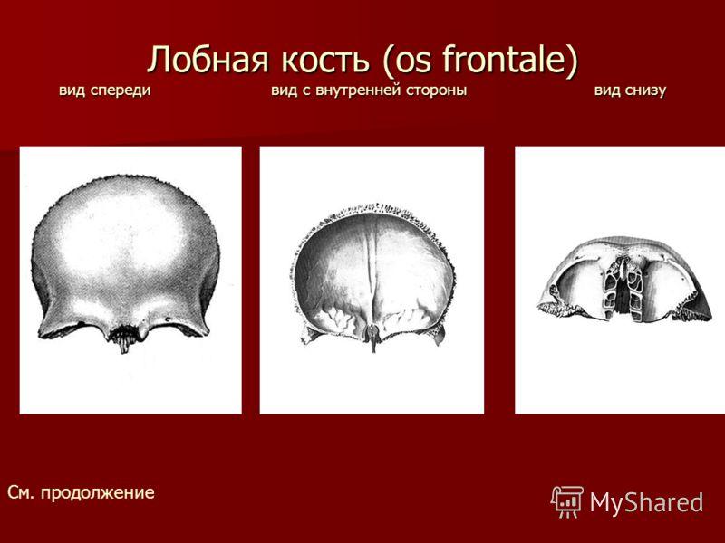 Лобная кость (os frontale) вид спереди вид с внутренней стороны вид снизу См. продолжение