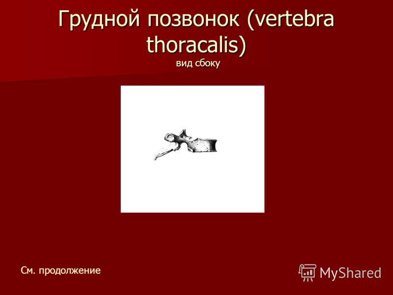 Грудной позвонок (vertebra thoracalis) вид сбоку См. продолжение