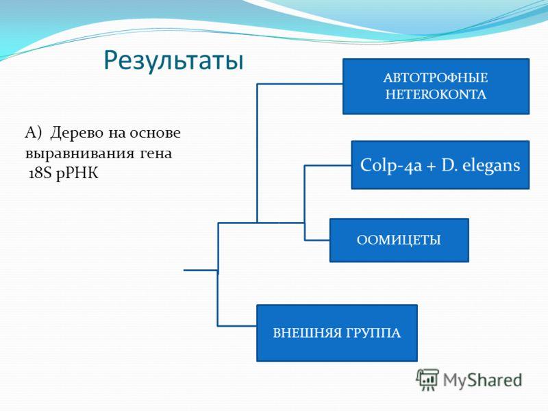 Результаты ВНЕШНЯЯ ГРУППА Сolp-4a + D. elegans ООМИЦЕТЫ АВТОТРОФНЫЕ HETEROKONTA А) Дерево на основе выравнивания гена 18S рРНК