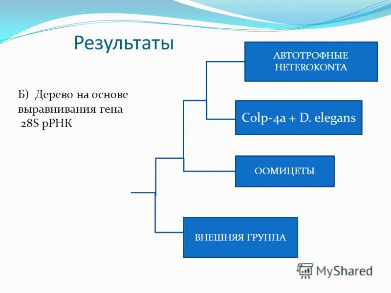 Результаты ВНЕШНЯЯ ГРУППА Сolp-4a + D. elegans ООМИЦЕТЫ АВТОТРОФНЫЕ HETEROKONTA Б) Дерево на основе выравнивания гена 28S рРНК
