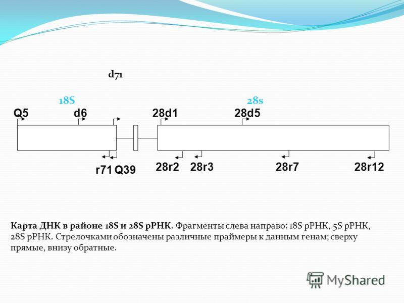 Q5d6 r71 28d528d1 28r228r1228r7 Q39 28r3 Карта ДНК в районе 18S и 28S рРНК. Фрагменты слева направо: 18S рРНК, 5S рРНК, 28S рРНК. Стрелочками обозначены различные праймеры к данным генам; сверху прямые, внизу обратные. d71 18S 28s